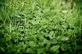 stock photo of clover  - top view of a expanse of three - JPG
