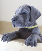 stock photo of great dane  - Young gray Great Dane puppy that is looking over an edge  - JPG