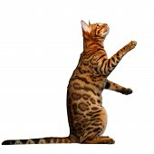 stock photo of bengal cat  - bengal cat stand and looking up on white background - JPG