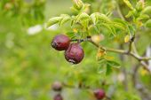 foto of rosa  - macro rosa canina fruits on the branch - JPG