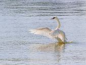 image of trumpeter swan  - A swans flaps its wings before takeoff from the water - JPG
