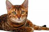 pic of bengal cat  - bengal cat lies and looking in camera on white background - JPG
