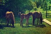 stock photo of bay horse  - Bay horses with foal grazes on the green mountains meadow - JPG