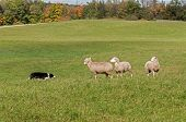 stock photo of sheep-dog  - Stock Dog and Sheep  - JPG