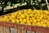 pic of fill  - Large boxes filled with lemons - JPG