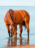 foto of bay horse  - bay beautiful horse standing in water and drinking - JPG