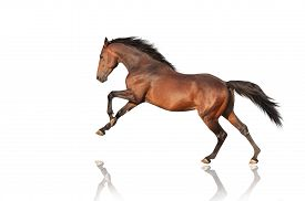 stock photo of fillies  - handsome brown stallion galloping - JPG