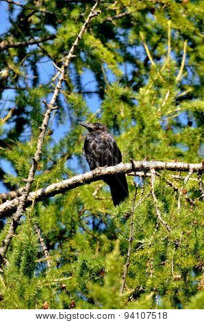Black Rook (hrach, Grach) Sitting On The Green Branch Of A Pine, Sergiev Posad, Moscow Region, Russi