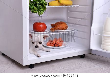 Adorable chihuahua dog in open fridge in kitchen