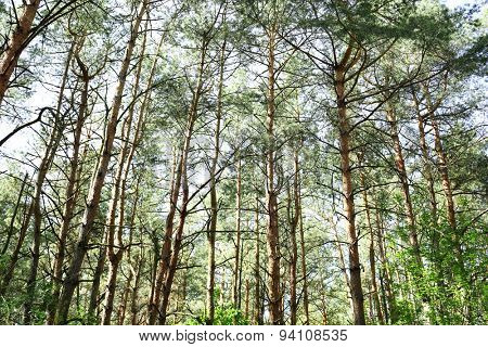 Tall trees in forest grove