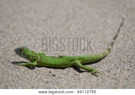 Green Amphibian