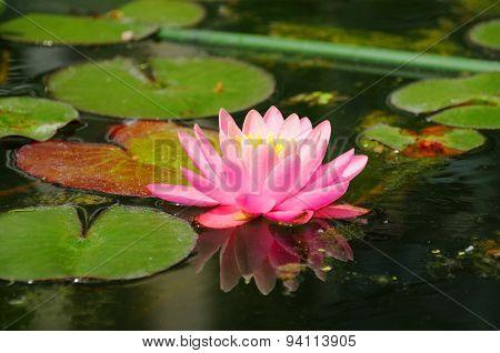 Pink Lily (lilium) In Closeup In Palmen Garten, Frankfurt Am Main, Hessen, Germany
