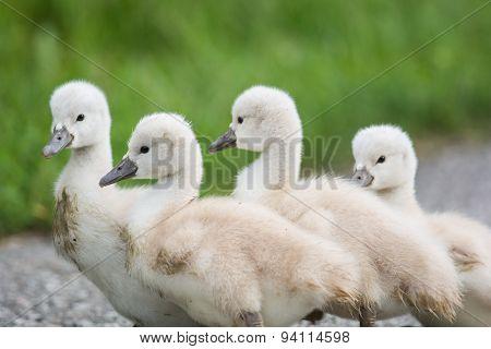 Four Mute Swan Cygnets Walking On A Path.