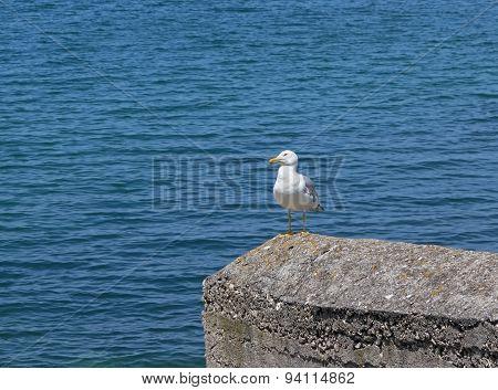 Marine Gull