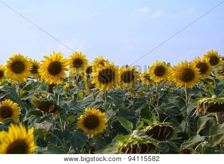 Sunflowers in a sunny day