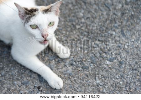 White Cat With Anger Face On The Ground