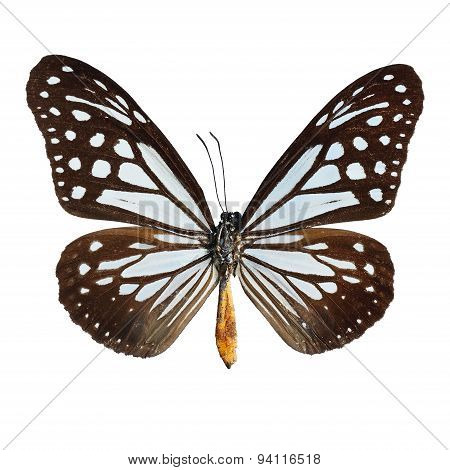 Tawny Mime Butterfly
