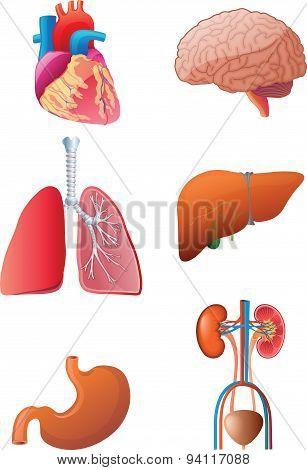Vital Internal Organs