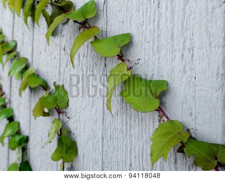 Ivy on a white wooden wall