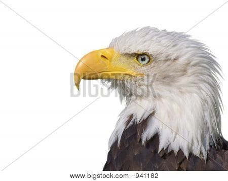 Bald Eagle White Background