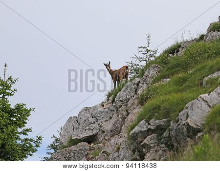 Chamois Looks With Attention From The Rock Of The Mountain