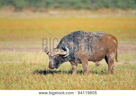 Mud covered African or Cape buffalo bull (Syncerus caffer), South Africa