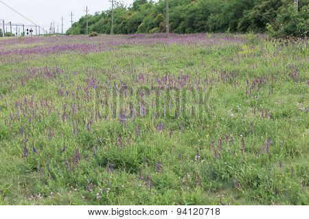 Wild purple salvia flowers