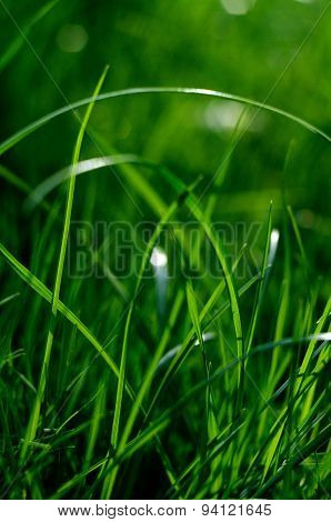 Colorful Fresh Green Young Grass Close-up, Sergiev Posad, Moscow Region, Russia