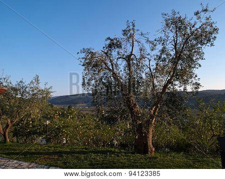 Mediterranean Olive Olive Tree