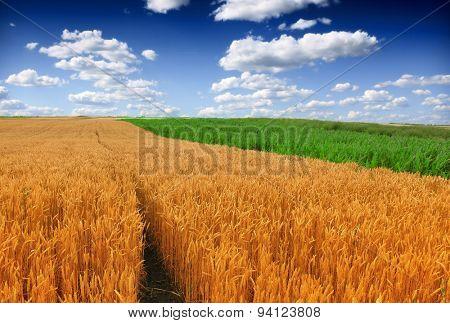 Wheat and Corn Fields