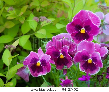 Group of pansy in the garden