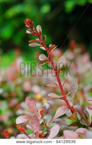 Colorful Young Leaves Of A Bush Branch In Fulda, Hessen, Germany