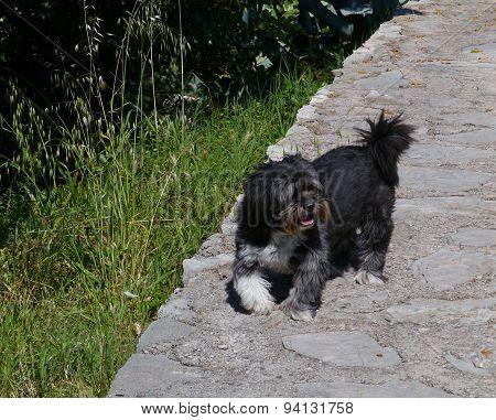 A black terrier dog