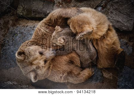 Brown Bears Breast Feeding Baby