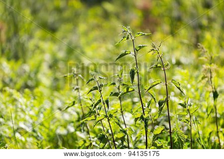 Nettle Growing In Nature