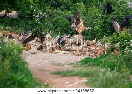 Vulture eating meat