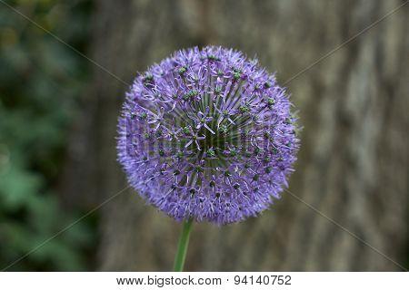 Flower Bear Bow. Allium Schoenoprasum.