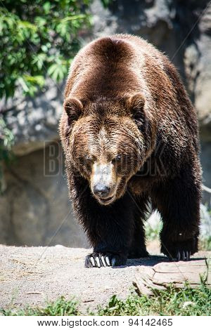 Grizzly Roaming Out