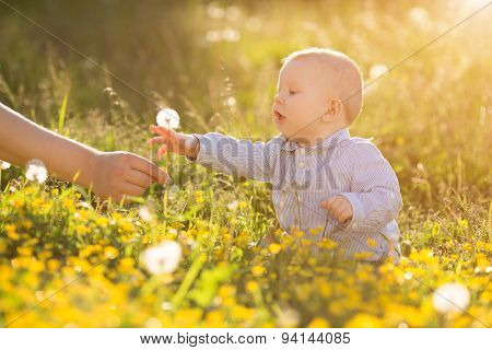 Adult hand holds baby dandelion at sunset Kid sitting in a meadow Child in field Concept of protection Allergic to flowers pollen Allergy Backlit Sun Light Autumn Glow Sunshine Learning new Education