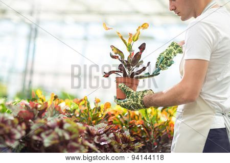 young male florist planting flower in greenhouse