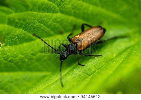 Brown longhorn beetle