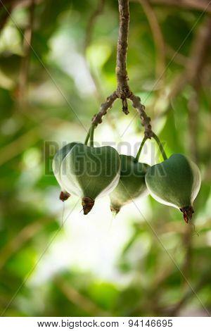 tropical fruit, Barringtonia (Barringtonia asiatica) or Sea Poison Tree