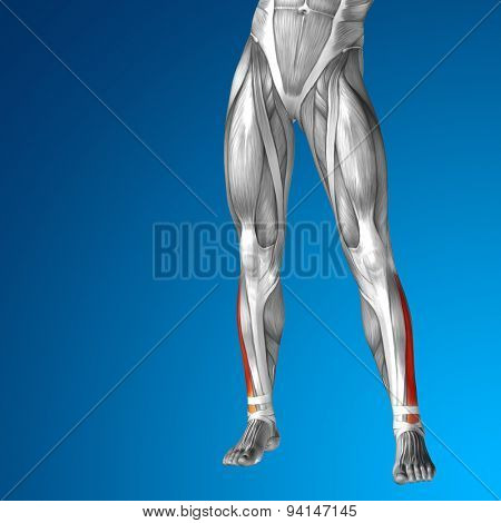 Concept or conceptual 3D adductor longus human lower leg anatomy or anatomical and muscle on blue gradient background