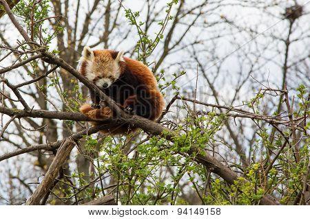 One sleeping Red Panda