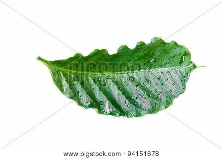 Green Leaf Arabica . Isolated On A White.