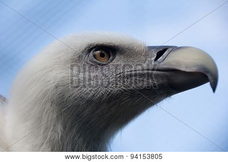 Headshot Of Young Griffon Vulture, Gyps Fulvus