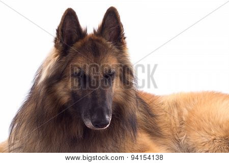 Belgian Shepherd Tervuren, Dog, Laying Down, White Studio Background