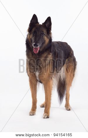 Belgian Shepherd Tervuren Bitch Standing, White Studio Background