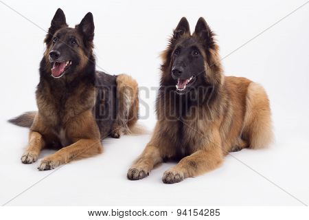 Tervuren Bitch And Dog Lying Down, White Studio Background
