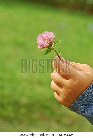 Flower of the dutch clover in hand